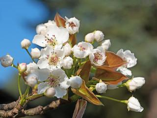 Blühende Nashi-Birne, Pyrus pyrifolia