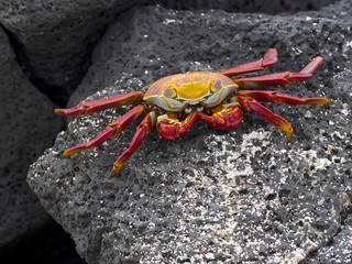 The red rock crab, Grapsus grapsus, is very abundant in the galapagos. Santa Cruz Island in Galapagos National Park, Equador