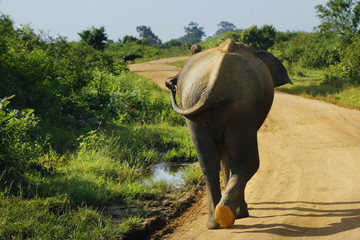 elephant walking in national park