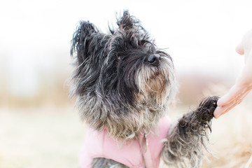 Cairn terrier giving paw