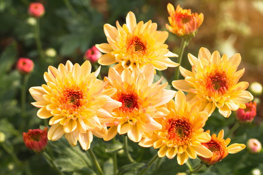 Beautiful of Chrysanthemums flowers outdoors,Daisies in the agriculture garden,Chrysanthemums in the Park