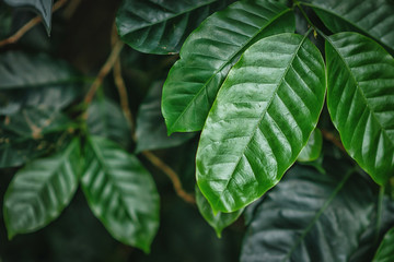 coffee green leaves, plant  Wall mural