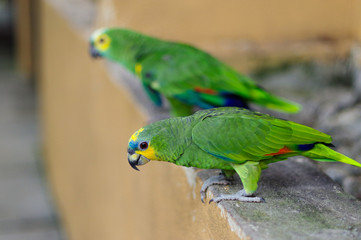 two Eclectus green Parrot standing on the stone railing