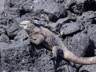 Portrait of the bizarre Marine Iguana, Amblyrhynchus cristatus hassi, Santa Cruz, Galapagos, Ecuador