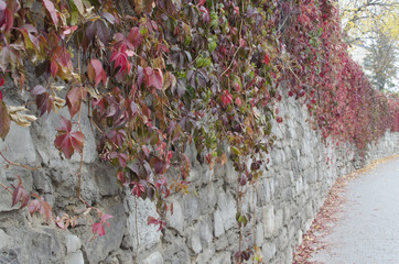 Old wall of stone covered with wild grapes