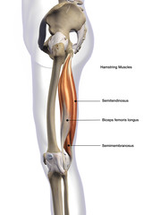 Hamstring Muscles Labeled Lateral View