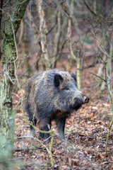 Boar in pine forest