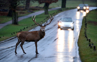 A stag deer stands in the road in Richmond Park, in west London