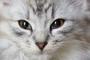 Close-up portrait of gray cat