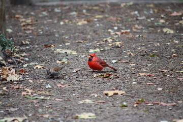 Fotoväggar - Kardinalvogel