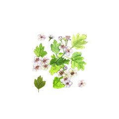 Hawthorn crataegus branch with flowers and leaves. Watercolor on white