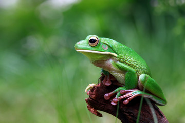 White lipped tree frog, tree frog in reflection