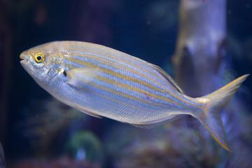 Salema porgy fish (Sarpa salpa)