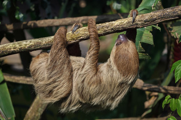 Linnaeus's two-toed sloth (Choloepus didactylus)