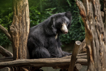 Indian sloth bear (Melursus ursinus)