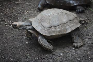 Asian giant tortoise (Manouria emys)