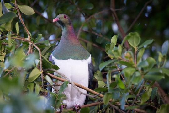 kereru wood pigeon bird new zealand