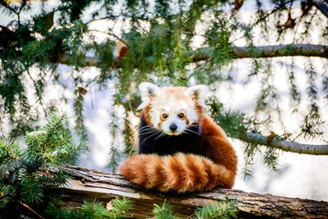 Aluminium Prints Panda Cute Red Panda At Sacramento Zoo of California
