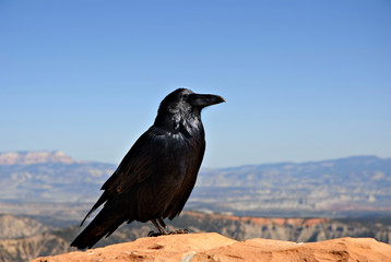 A crow sitting on a rock wall hoping for a handout at Capitol Reef National Park, Utah.