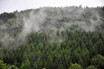 Fog winding through pine trees