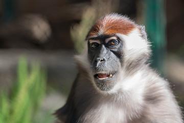 Smiling Monkey Headshot