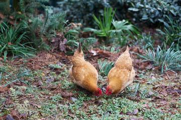hen on ground