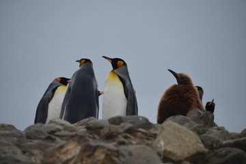 Relaxing King penguin colony in South Georgia