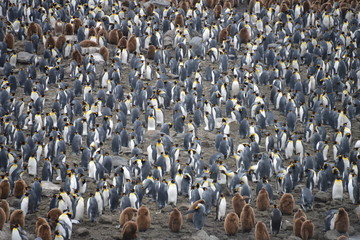Large King penguin colony in South Georgia