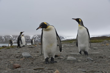 King Penguin large colony