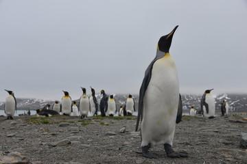 King Penguins view cloud
