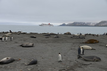 King Penguin and ship