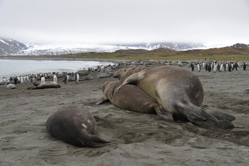 King Penguins and elephant seal