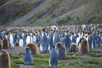 Penguins with babies on South Georgia