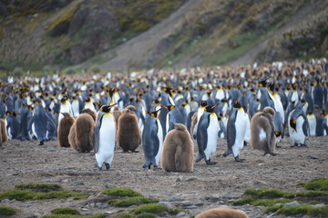 Large group Penguins on South Georgia