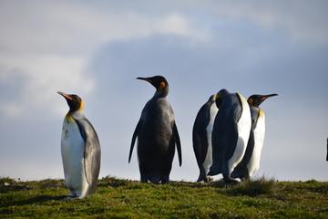 King Penguins on South Georgia Isle