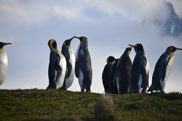 Group King Pinguin on South Georgia