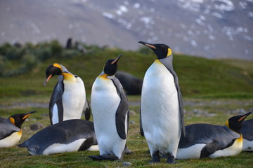 Group of king Penguins on South Georgia