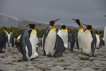 Big Penguin colony on South Georgia