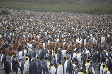 Penguin colony, South Georgia