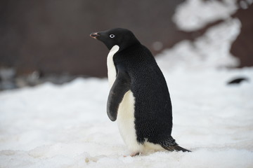 Foto auf AluDibond Antarktis Penguin close up Antarctica