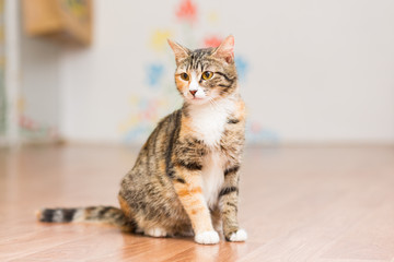 Pregnant cat tortoiseshell without breed sits on the floor
