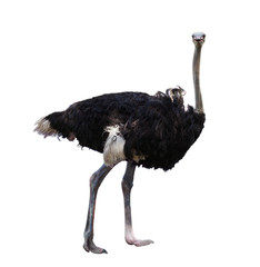 full body of african ostrich isolated white background