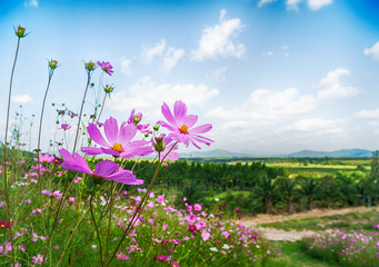 Wall Mural - Landscape Cosmos flower in the field with blue sky and cloud