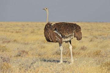 Afrikanischer Strauß (struthia camelus) im Etosha Nationalpark (Namibia)