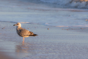 Winter coastal nature. Juvenile gull in winter plumage standing by the sea.