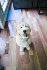 Happy labradoodle puppy in home