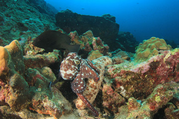 Octopus hunting for fish under sea cucumber