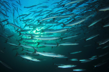 Barracuda fish school underwater