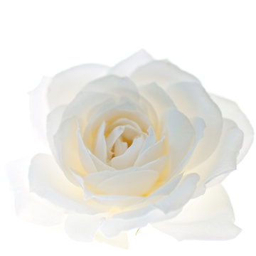 White rose flower isolated on the white background