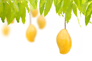 Ripe mangoes hanging on trees with isolated white background